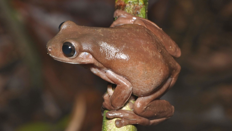 The 'Chocolate Frog' is a Newly-Discovered Species That Reminds About the Harry Potter Series