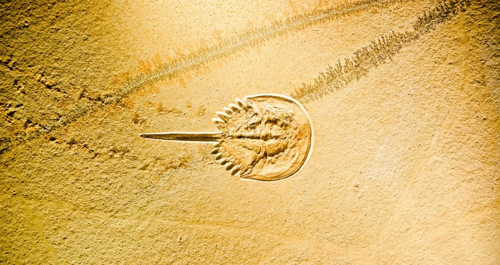 310 Million-Year-Old Horseshoe Crab Fossil Found With Preserved Brain