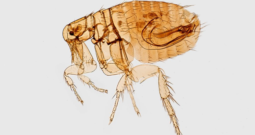 Fleas Carrying Plague Were Found in County From Colorado