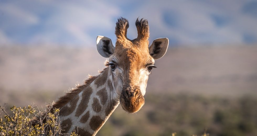 Study Shows Giraffes Develop Social Lives Similarly To Elephants