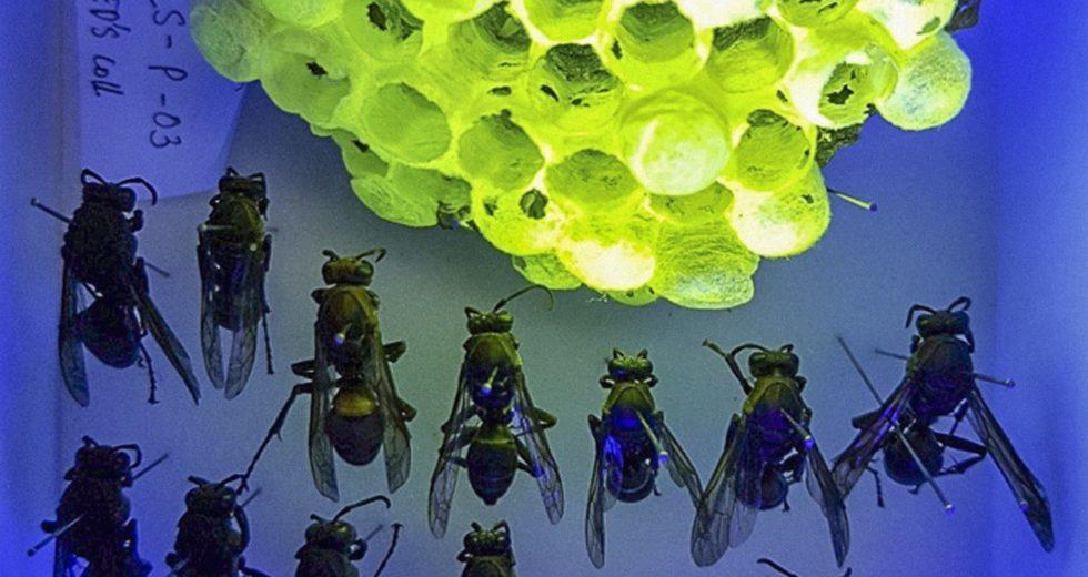 Wasp Nests Emit a Fluorescent Glow Under Ultraviolet Light