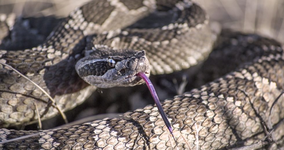 Rattlesnakes Have an Unexpected Method to Convince Humans That Danger is Closer Than They Believe