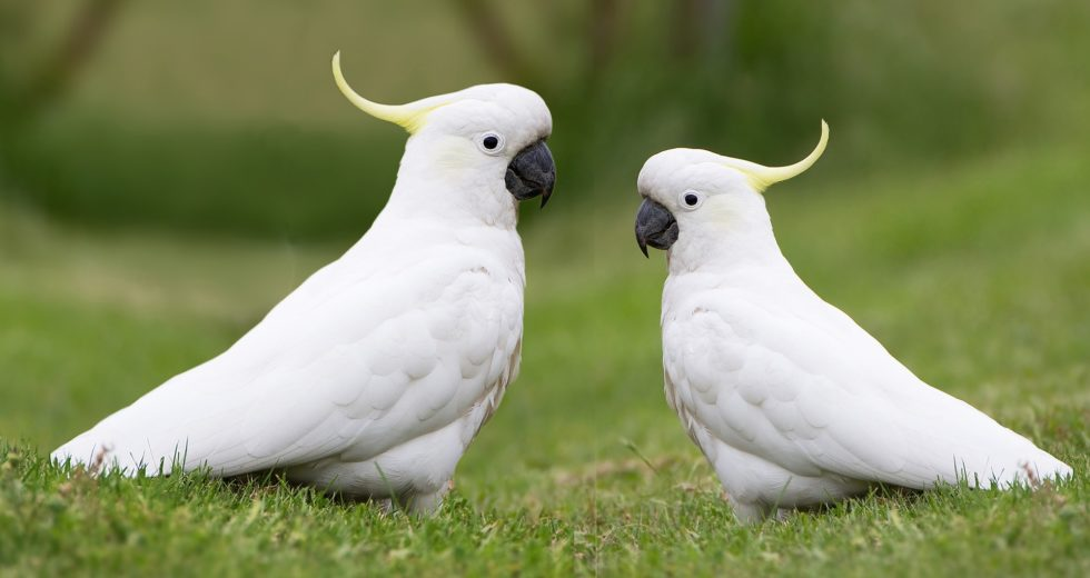 """The Cockatoos' Special Ability Of Improvising """"Cutlery"""" In The Wild"""
