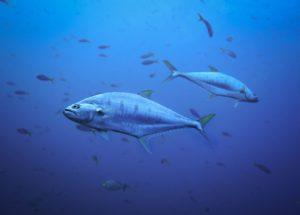 Mercury Pollution vs. Bluefin Tuna: Researchers Found Worrying Data