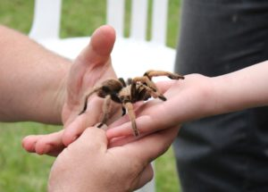 Prepare for a Significant Tarantula Migration if You Live in This American State